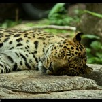 sleeping leopard border sm