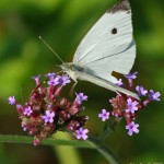 white butterfly sq