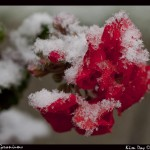 snow geraniums sm