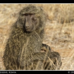 Momma And Baby Baboon
