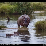 Momma Hippo