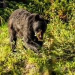Black-bear-eating-#1-cropped-5x7